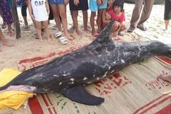Cá heo 150kg kiệt sức chết sau khi dạt bờ biển Thuận An