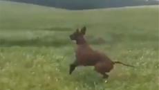 Chú chó cầm tinh... chuột túi