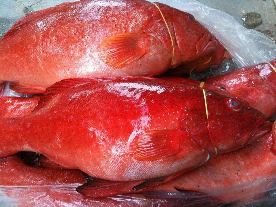 Cá mú đỏ chục triệu đồng/con nhà giàu Việt mua để tủ lạnh ăn dần