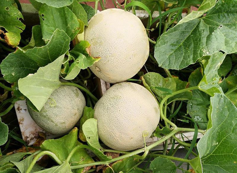 nông dân sân thượng,trồng rau sạch,trồng rau trên sân thượng,dưa lưới