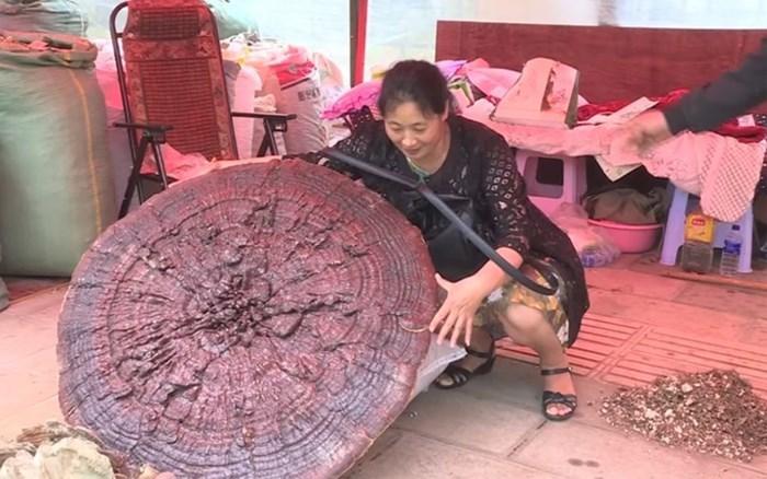 Sửng sốt trước cây nấm linh chi quý hiếm to như cái ô, nặng tới 10kg