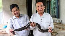 Đàn rắn khổng lồ trong thùng gỗ ở Cần Thơ, mới nhìn ai cũng khiếp sợ