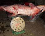 Ngư dân bắt được cá 'khủng' có vảy lấp lánh trên sông Đà