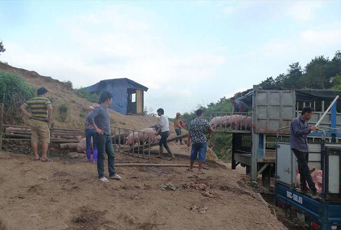 Kiểm soát chặt vận chuyển lợn qua biên giới sang nước láng giềng