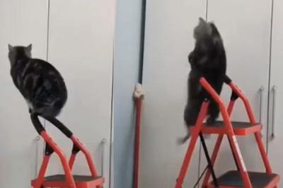 Chú mèo tập xà đơn khiến người xem không nhịn được cười