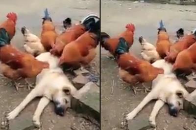 Chú chó số hưởng được cả đàn gà chăm sóc