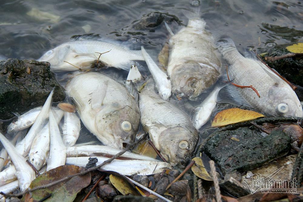 cá chết,cá chết hồ Tây,hồ Tây,Hà Nội,nắng nóng