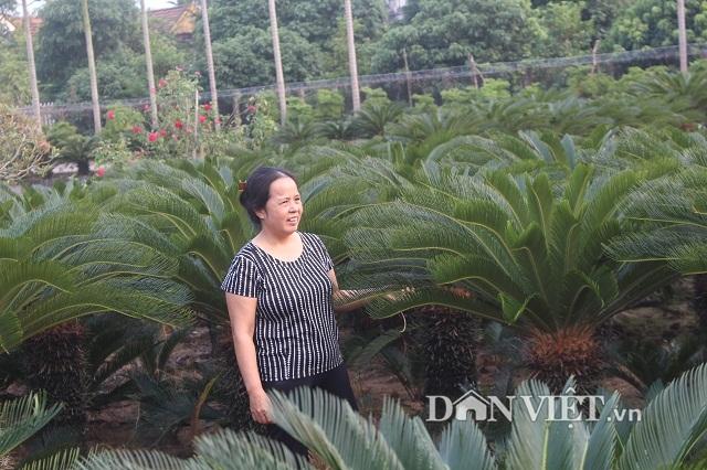 Xưa nay hiếm: Vườn có hơn 20 cây vạn tuế cùng lúc trổ hoa ở Nam Định