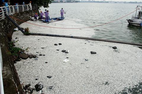 Cá hồ Tây lại chết, nổi trắng một vùng