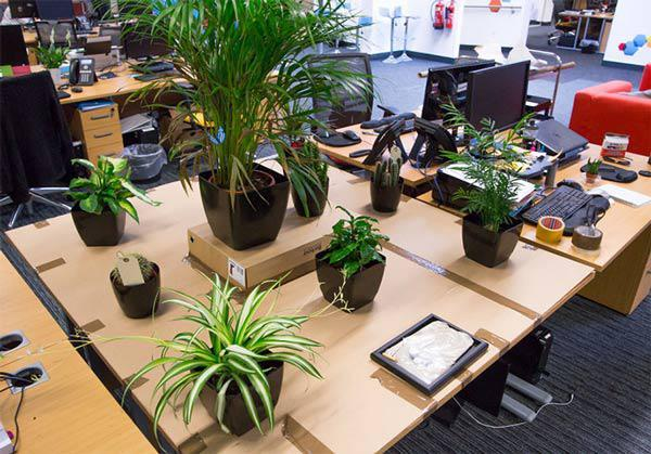 Cách chọn cây cảnh để bàn phù hợp nhất giúp không gian thêm đẹp, gặp nhiều thuận lợi