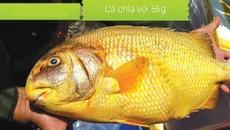 Bắc-anh vũ, Nam-chìa vôi: 2 loài cá 'đắt xắt ra miếng' được bảo tồn