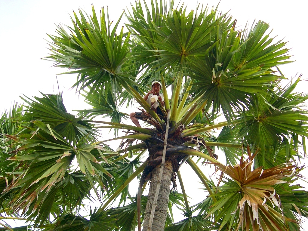 Loài cây 20 năm mới 'chửa, đẻ', muốn lấy nước phải trèo 2 lần