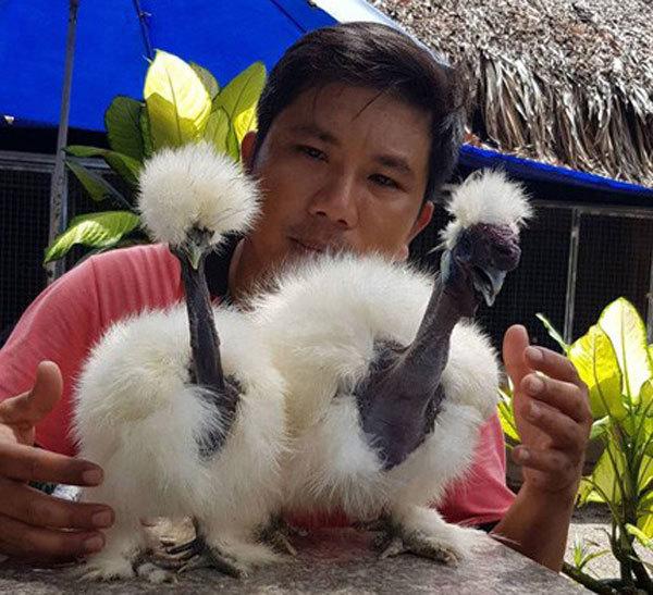 Cực lạ loài gà có cổ như rắn 'hớp hồn' giới nhà giàu Việt Nam
