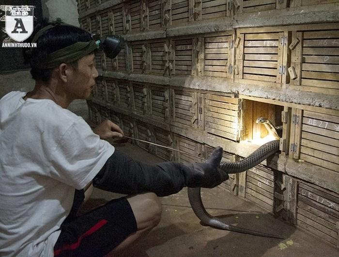 Sống giữa 1.000 con rắn: Lạnh sống lưng tay không bắt hổ mang