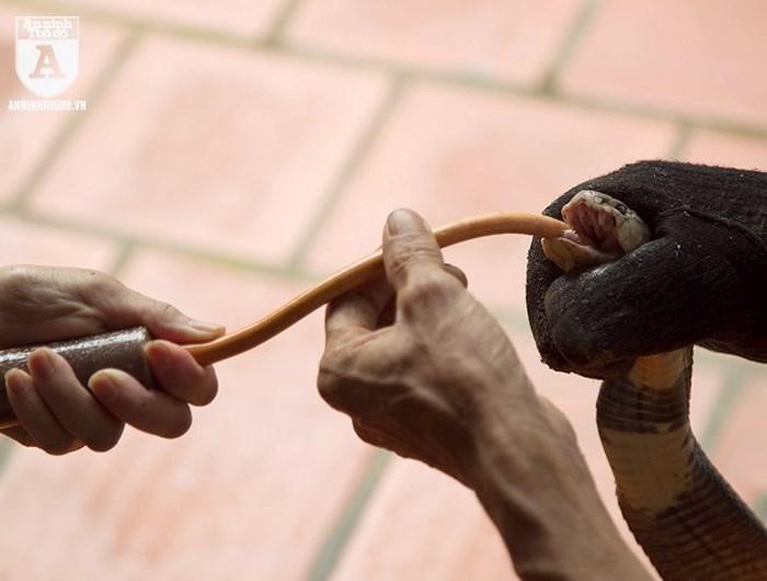 nuôi rắn,rắn hổ mang,mãng xà