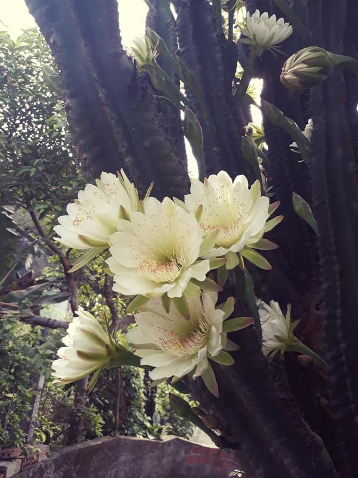 Cây xương rồng 30 năm tuổi khổng lồ, ra hoa trắng muốt ở Quảng Ninh