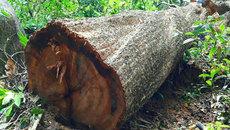 Hàng loạt kiểm lâm, cán bộ bảo vệ rừng bị kỷ luật vì để...'chảy máu' rừng