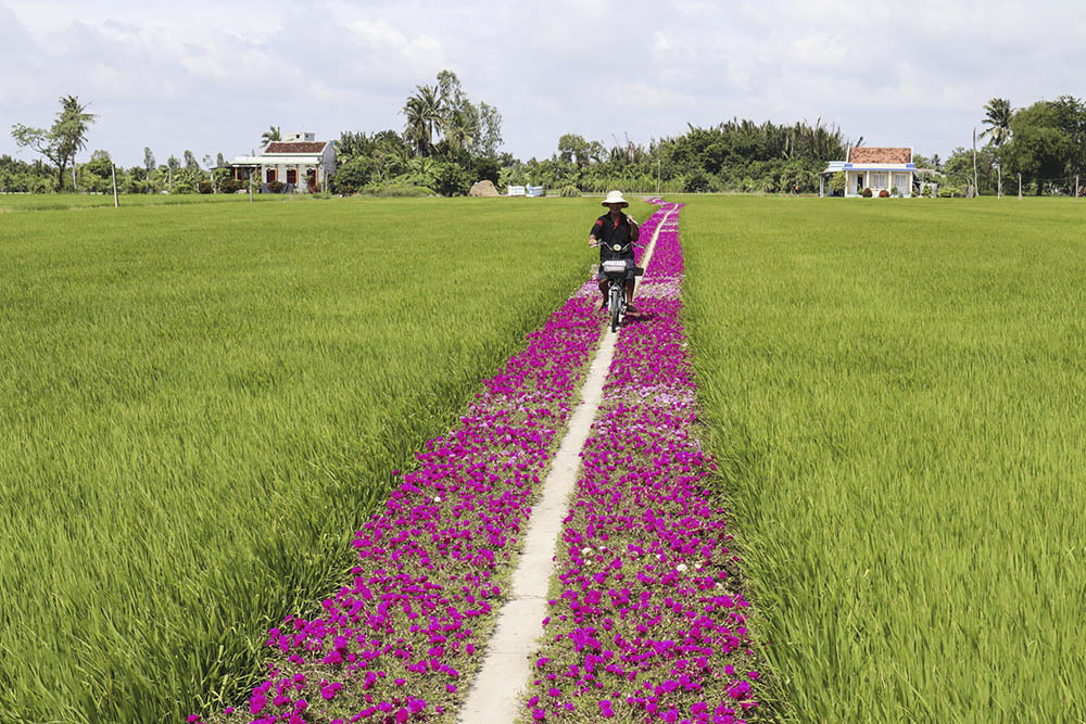 Con đường hoa mười giờ lãng mạn nhất Tiền Giang