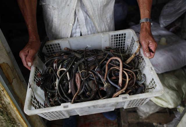 Nuôi 3 triệu con rắn: Cả làng quen với rắn cắn