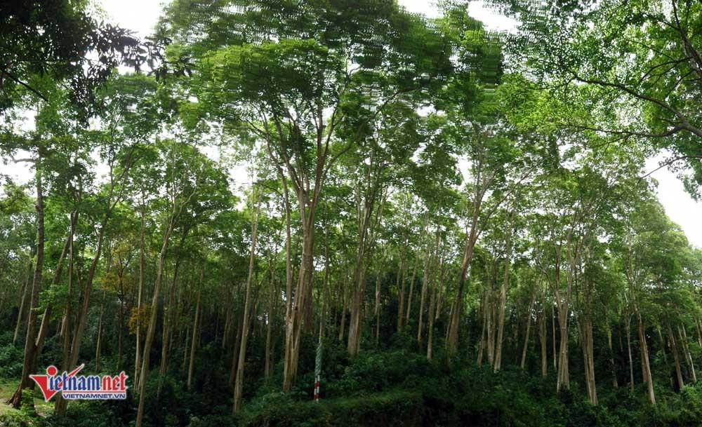 Rừng Săng lẻ cổ thụ độc nhất Việt Nam nơi miền Tây xứ Nghệ