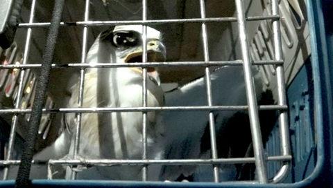 Giải cứu chim quý hiếm mắc kẹt trên đường dây điện ở Sài Gòn