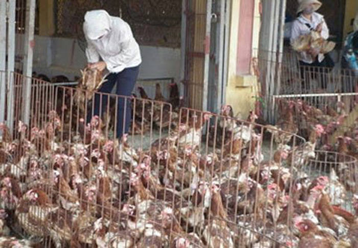 thịt gà thải loại,gà trọc đầu trung quốc,gà dai hàn quốc,Thịt gà Mỹ,thịt gà,thịt gà giá rẻ
