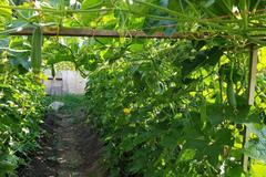 Thèm rau quê, cô gái Việt chuyển 7 tấn đất trồng đặc sản ở Séc