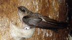 Đề xuất chi ngân sách cho 14 cán bộ đi nước ngoài học nuôi chim yến