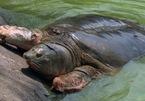 Hợp tác với Trung Quốc bảo tồn rùa Hồ Gươm
