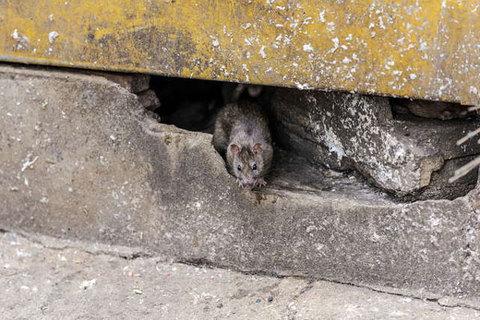 Cảnh tượng rùng mình ở thành phố Mỹ tràn ngập chuột