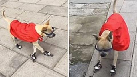 Xem chú chó trượt patin điêu luyện