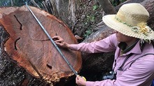 Sa mu trăm tuổi 'ứa máu' trên đỉnh Phu Lon