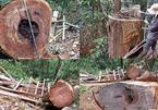 Nghệ An chỉ đạo điều tra rừng sa mu trăm tuổi 'ứa máu'