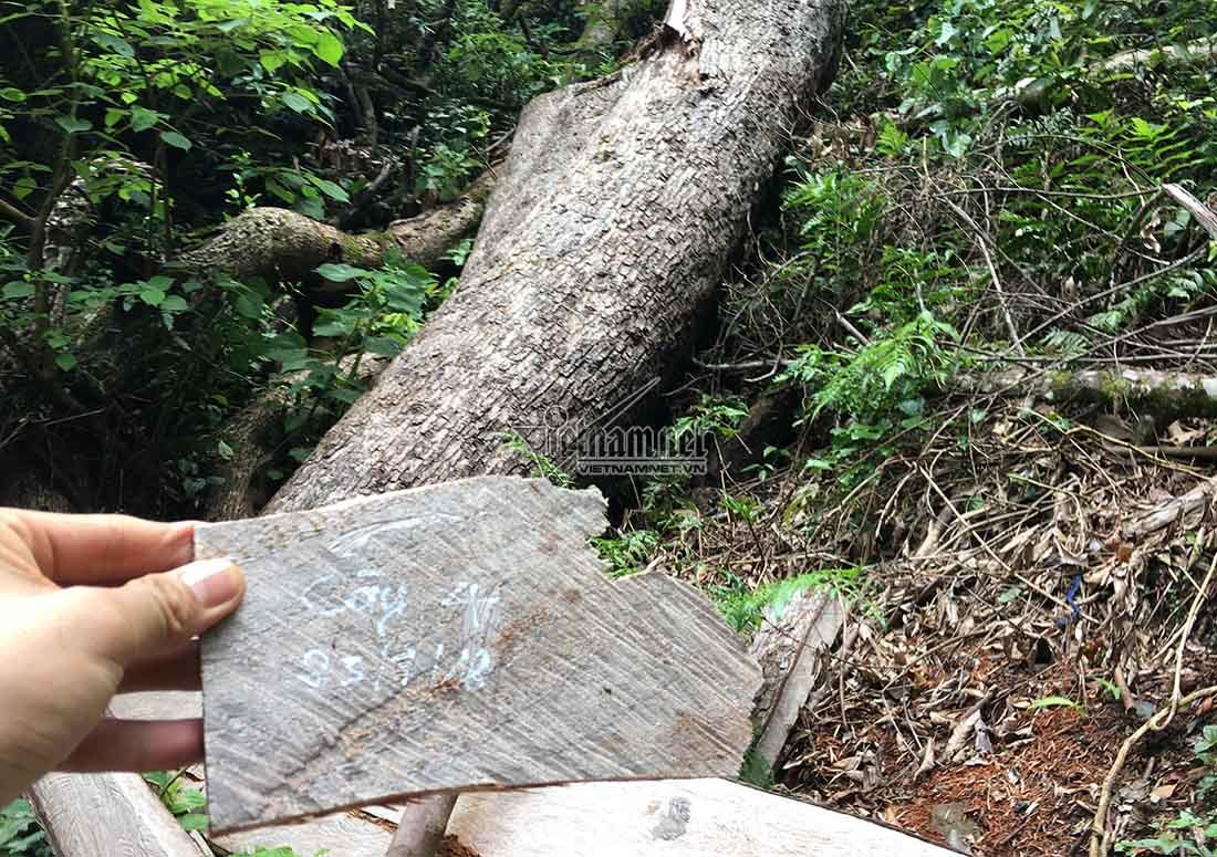 Ai trả công cao ngất cho người xẻ gỗ sa mu trăm tuổi?