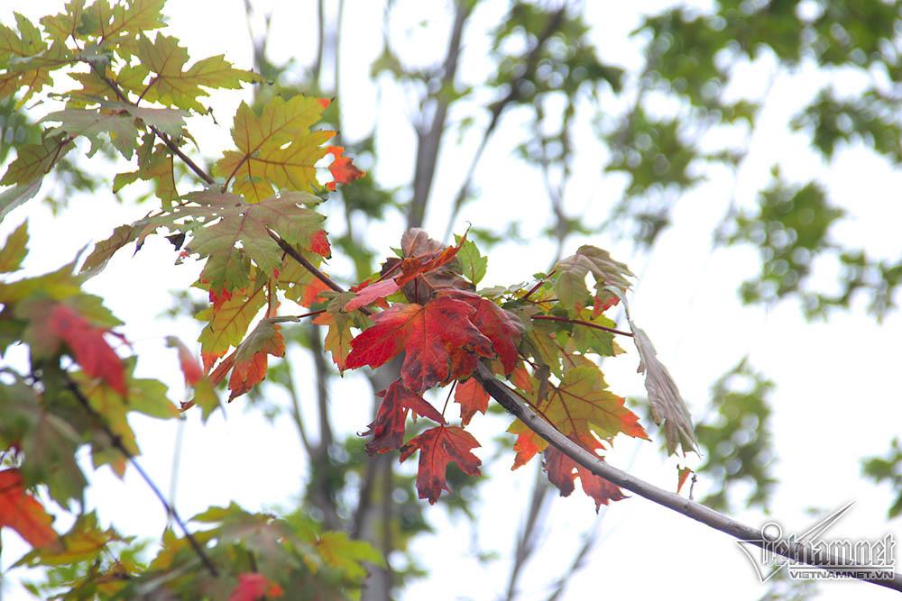 Ngỡ ngàng ngắm cây phong chuyển màu đỏ rực giữa Thủ đô