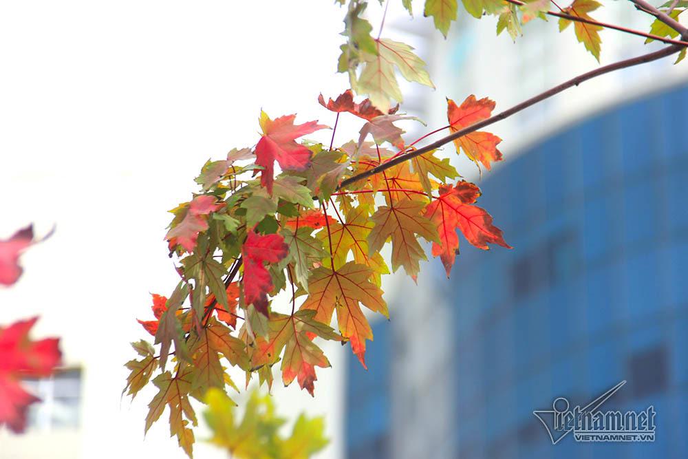 phong lá đỏ,cây phong lá đỏ,cây xanh,Hà Nội