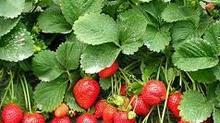 Bí quyết chọn dâu tây đỏ mọng, thơm nức