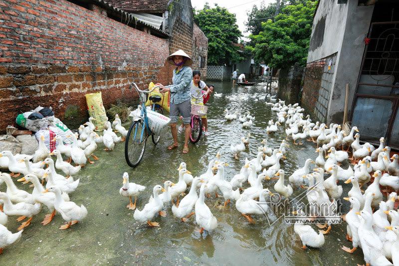 Vợ chồng ông chủ ngày ngày chèo thuyền thăm 100 con lợn đi lánh lũ