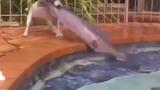 Chó cứu cá khỏi ... chết đuối