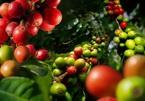 Giá cà phê hôm nay 7/8: Giao dịch giảm nhẹ