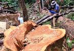 Xẻ thịt 23 cây dổi đại thụ, chèo kéo người nơi khác đến phá rừng