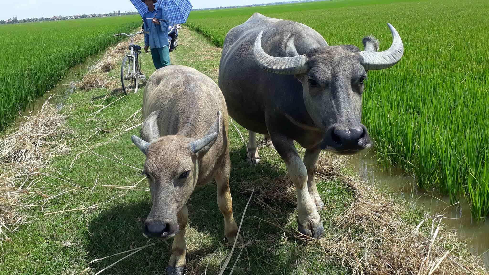 Như Thanh Hóa, trâu bò ở Quảng Bình ra đồng ăn cỏ cũng phải đóng phí