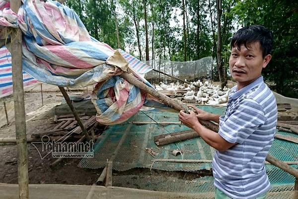 Hà Nội: Xót xa đàn vịt tan tác sau ngập lụt