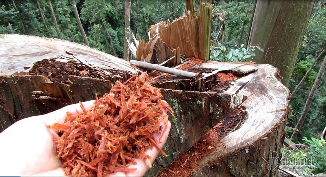Kiểm lâm Nghệ An chưa nghe báo cáo rừng sa mu bị chặt hạ