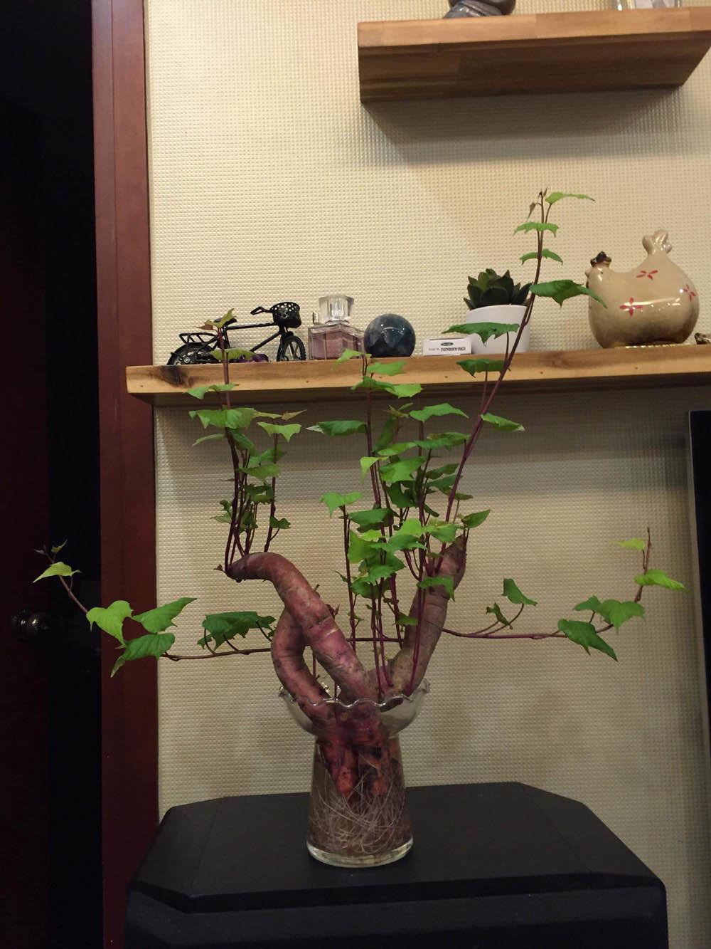 trong khoai bonsai