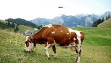 Quân đội Thụy Sĩ dùng trực thăng lấy nước cho bò