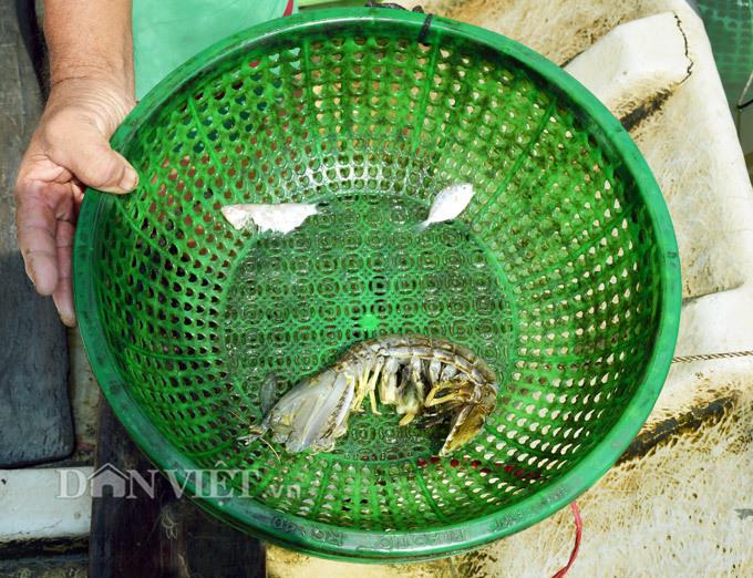 Sự thật tôm tích đắt nhất quả đất ở vùng Đất mũi Việt Nam