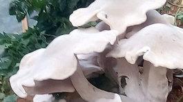 Cây nấm lạ khổng lồ màu trắng tinh gây xôn xao ở Sơn La