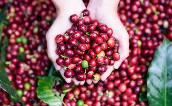 Giá cà phê hôm nay 14/8: Thị trường trầm lắng, giá giảm