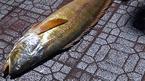 Cà Mau: Bắt được con cá tưởng đã tuyệt chủng, định giá bằng vàng, lùng mua từng con